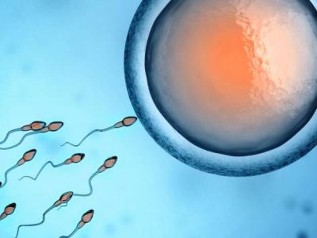 Zaadcellen op weg naar de eicel