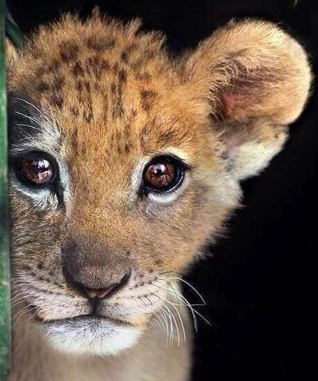 Een baby luipaard