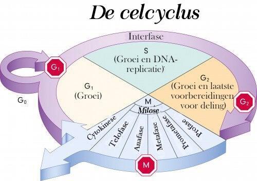 Leer meer over de celcyclus